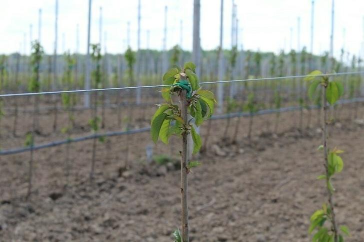 В Багратионовском районе Калининградской области высадили черешни и груши (+10 фото)